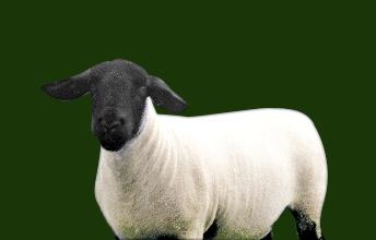 Home - Solwaybank Suffolk Sheep